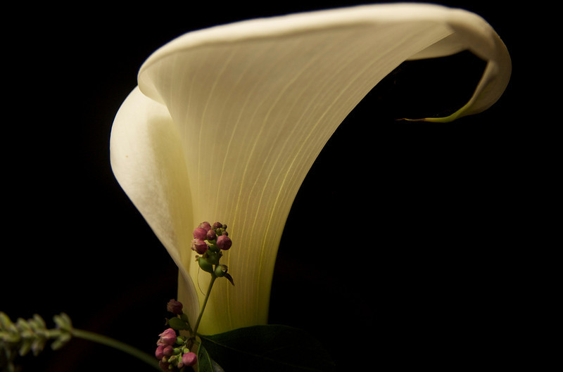 The lovely Calla Lily