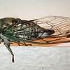 Silver-bellied Cicada  (Tibicen pruinosus)