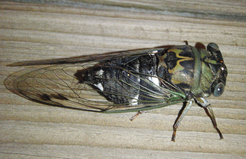 An annual cicada showed up at the party.