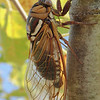 Yes, I'm still fascinated with cicadas.