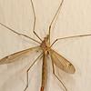 Large Crane Fly.