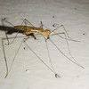 About the size of a mosquito, but this is something else.
