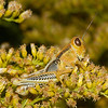 Juvenile Differential Grasshopper