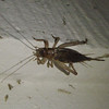 Common House Cricket.