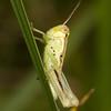 Young grasshopper.