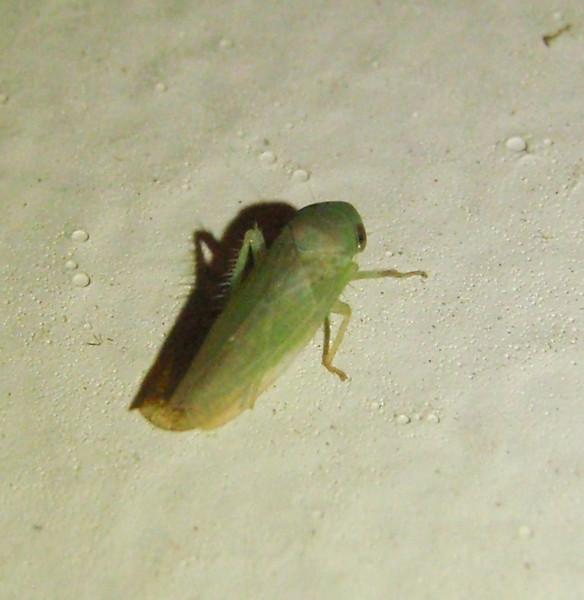 Leaf hopper.