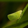 Sunday, August 11, 2013.  Inspired by the book Ryan gave me for my birthday (The Natural World Close-Up), I went out back to look for the small and very small.  My first quarry--a leaf hopper.  Acanalonia conica