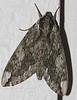 Large Spnyx Moth at back porch light, August 16, 2008