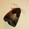 Unidentified moth.
