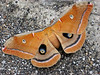 """Polyphemus Moth. July 24, 2008.  Coworkers found him on the asphalt drive  just outside my office and asked, """"Do you have a camera?""""  (Silly question!)"""