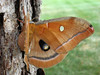 """Okay, it's a Polyphemus Moth, not a butterfly.  July 24, 2008.  Just outside my office. The """"windows"""" in the wings really ARE windows--so clear you can see the green through them."""