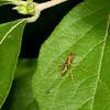Ichneumann Wasp