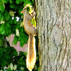 Up the tree, I go.  June 2013<br />  A critter in Spencer Smith park in Burlington.