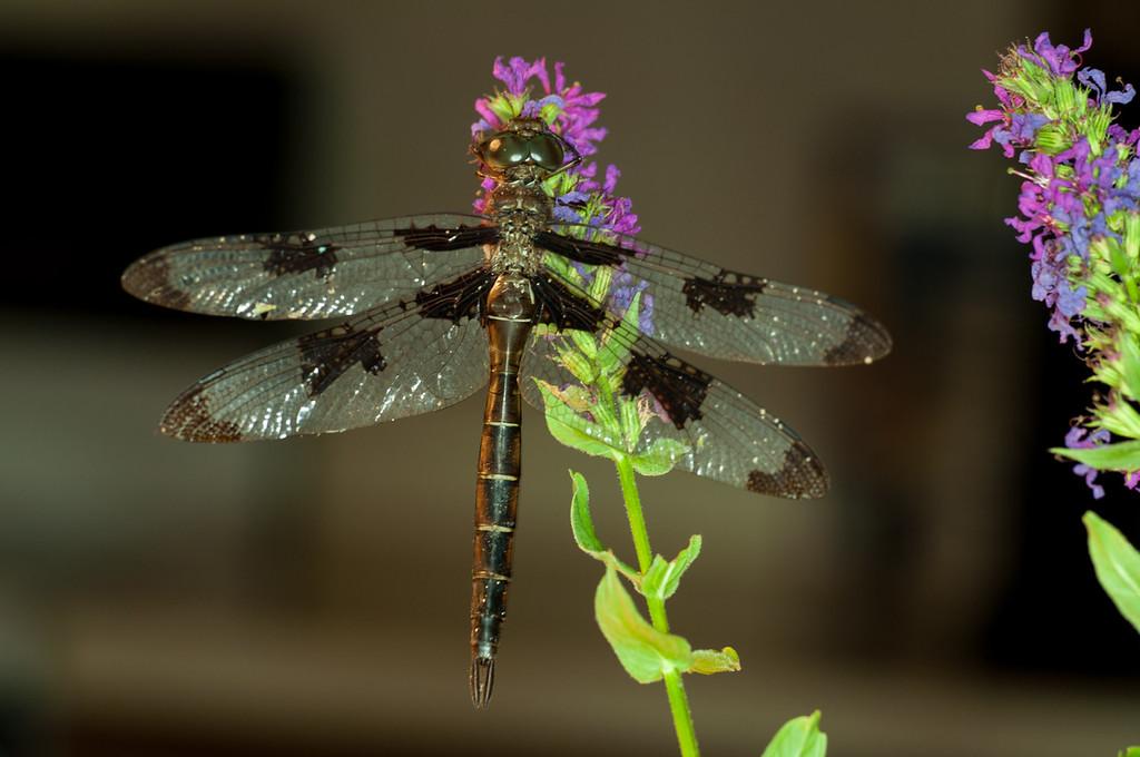 dragon fly_DSC1922