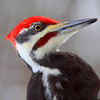 """Giant Woody""  Male Pileated Woodpecker """