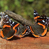 """  Red Admiral  Butterfly Invasion  """