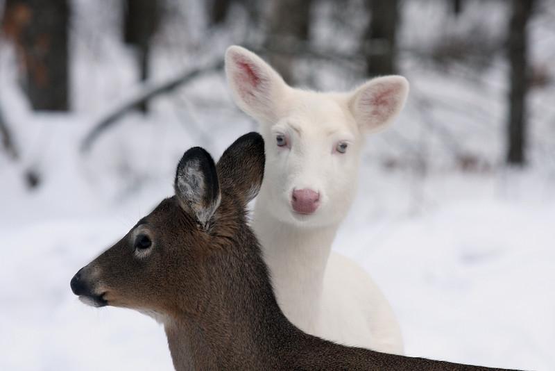 """My Body Guard""  Wild Albino whitetail deer of Boulder Junction Wisconsin"