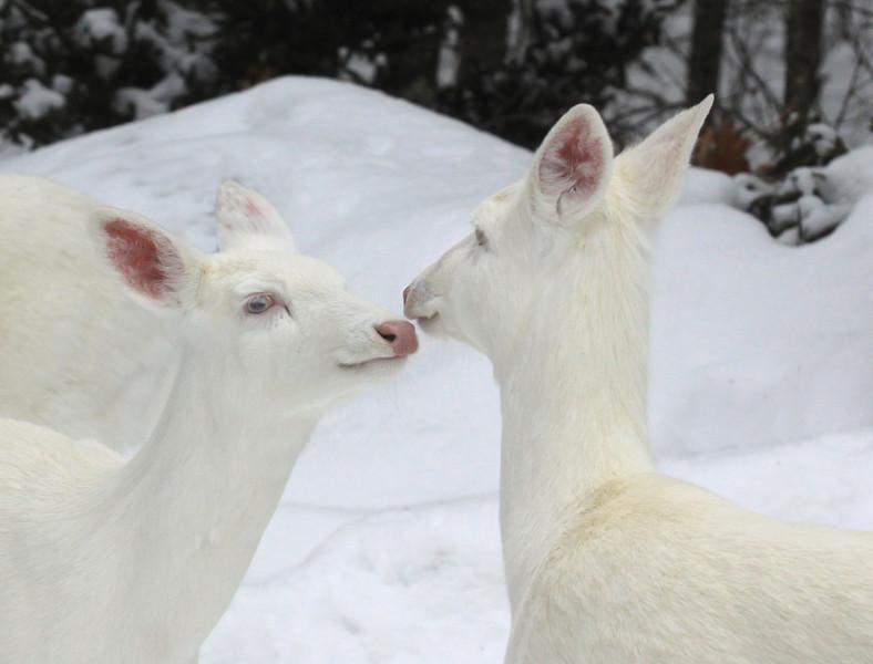 """"""" Deer Love""""  Wild Albino whitetail deer of Boulder Junction Wisconsin"""
