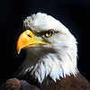 """ Bald Eagle The National Bird of the United States of America """