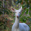 """  Ain't She Sweet "" Wild Albino whitetail deer of Boulder Junction Wisconsin"