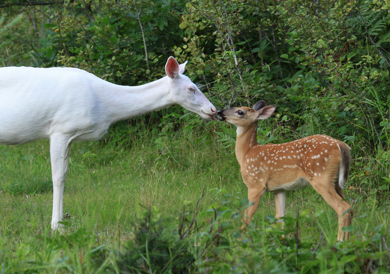 """""""Lay a Little Loving On Me""""  Wild Albino whitetail deer with her baby fawn near Boulder Junction Wisconsin"""