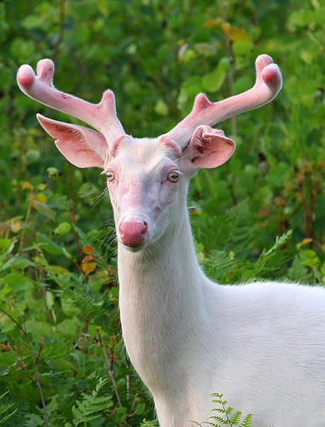 """  Wild Albino Whitetail Buck of Boulder Junction Wisconsin"""