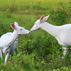 """ A Tender Greeting ""Wild Albino whitetail deer of Boulder Junction Wisconsin"