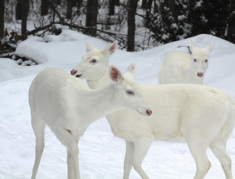 """"""" We Three Queens """" Wild Albino whitetail deer of Boulder Junction Wisconsin"""