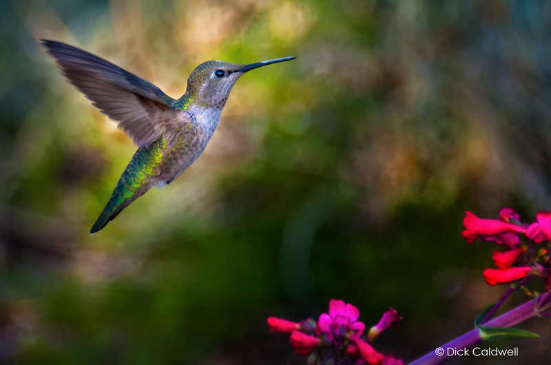 Female Anna's hummingbird, Phoenix