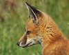 "Red Fox ( Vulpes vulpes ) <a href=""http://en.wikipedia.org/wiki/Red_fox"">http://en.wikipedia.org/wiki/Red_fox</a>"