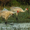 Sandhill Cranes at Circle Bar B Preserve, Lakeland, FL, at sunset
