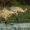 Sandhill Cranes at Circle Bar B Preserve, Lakeland, FL, at sunset
