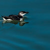 Razorbill in Florida