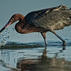 Reddish Egret at Ft. DeSoto Park, St. Petersburg, FL