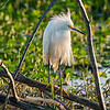 White egret in breeding plumage at Circle Bar B Preserve