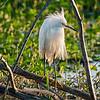 White egret in breeding plumage at Circle Bar B Preserve