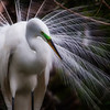 Egret in breeding plumage, Venice, FL