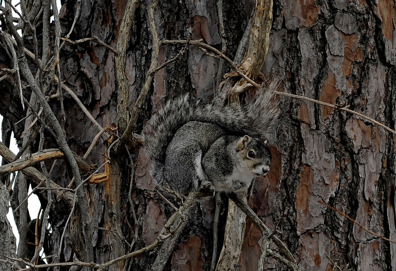 Delmarva Fox Squirrel - Blackwater NWR - 2010