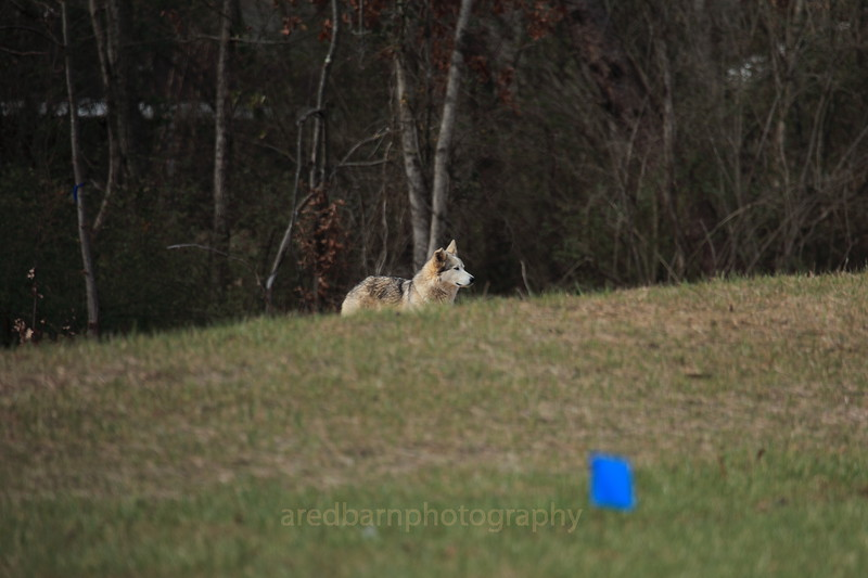 Our local coyote,he/she hasbeen around for 4 years.