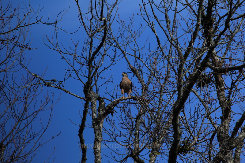 Here is another one of the many Hawk that comes by to Look at  the birds grazing at our feeders.