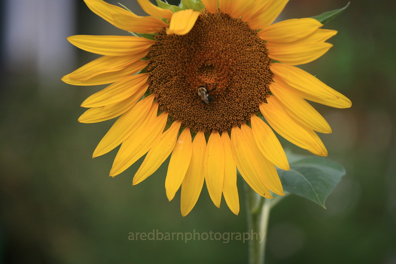 Under one of my bird feeders, I had some sun flowers come up on there own.This is one of them that made to full size.One of the luck one that the deer did not get to.