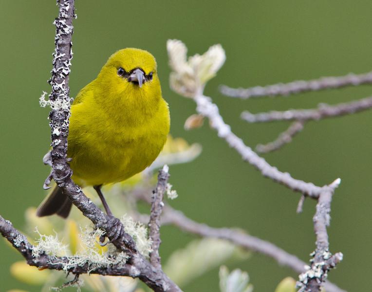 Native Hawaiian Bird