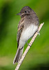 Phoebe fledgling