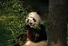 GIANT PANDA<br /> IMAGE 7124