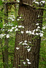 DOGWOOD BLOSSOMS 2229_filtered 1A copy
