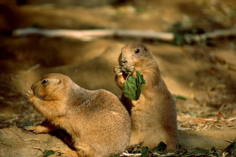 PRARIE DOG PAIR_filtered 1A copy