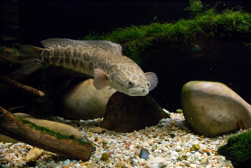 NORTHERN SNAKEHEAD (IMAGE 582)
