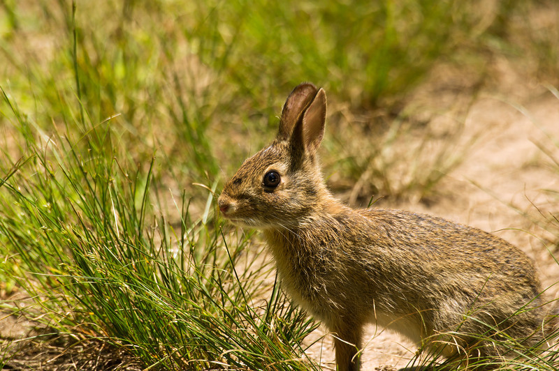 WILD RABBIT (EASTERN COTTONTAIL)<br /> IMAGE 07300