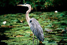 GREAT BLUE HERON_filtered