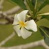 FLOWERS & TREES  Plumeria
